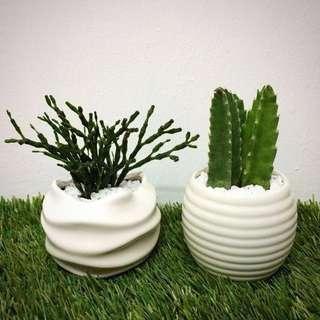 Cactus in White Ceramic Pot