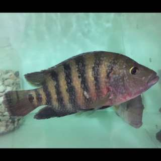 Cichlid 9ins / 10ins $5 best today take