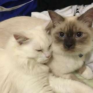 Kucing Persian (jantan) / Kucing Himalayan (betina)