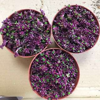 Purple Rice Succulent (Rare)