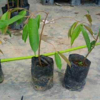 pokok durian hibrid musang king