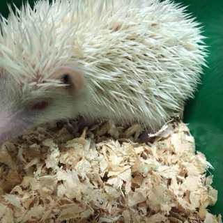 Male and female hedgehogs