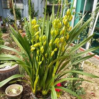 黃色大蕙蘭