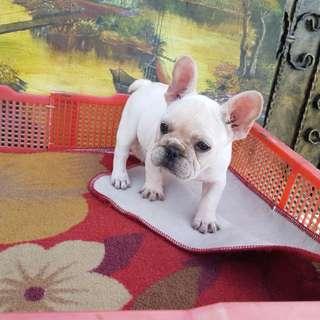 法國鬥牛母幼犬出生兩個月