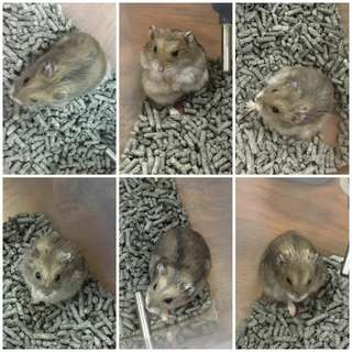 Hamsters for Adoption
