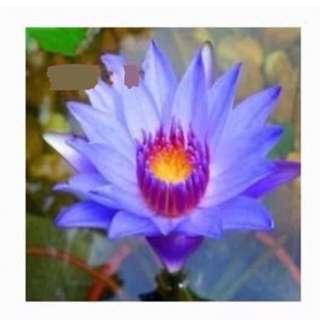Mini Water lotus