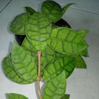 Hoya plants