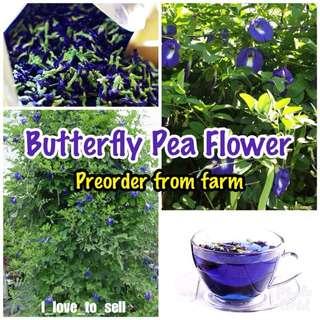 Fresh Butterfly Pea Flower