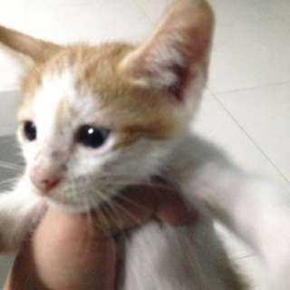 kitten for adoption ( free )