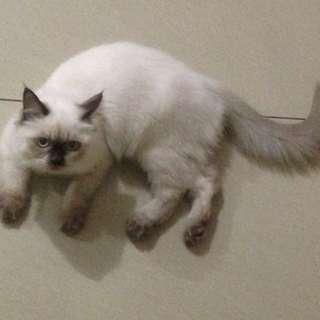 Kucing himalaya usia 7 bln