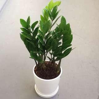 Plant - Zamioculcas ZZ plant in Porcelain pot (1 ft)