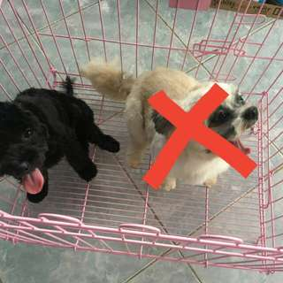 FOR SALE poodle