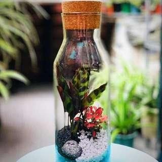 Eco-Terrarium/ Fittonia/ Plant/ Glass Vase With Cork