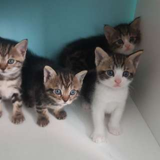 Kittens for adoption with fees.