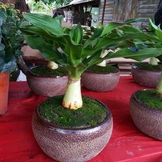 Indoor Plant  Crinium