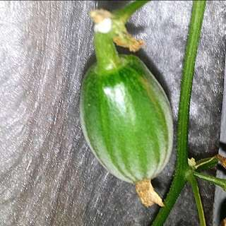 GARDENING - Non-GMO Cucumber Seeds For Sale