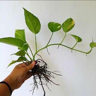 GARDENING - Money Plant (Epipremnum aureum) By Metre For Sale