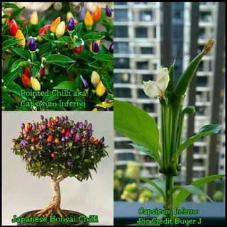 GARDENING - Japanese Bonsai Chilli & Pointed Chilli (aka Capsicum Inferno) Seeds & Seedlings For Sale