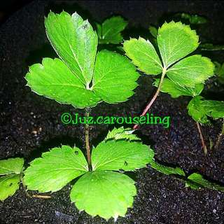GARDENING/SHARING - 🍓 Strawberry Seeds For Sale