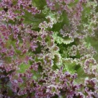 Leafy Lettuce 'Lolla Rossa' (Lactuca Sativa L.) Seeds, Medium Early Heirloom