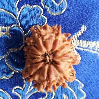 12 face Rudraksha NEPAL