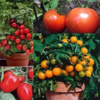 Tomato Garden:- 4 pack of seeds