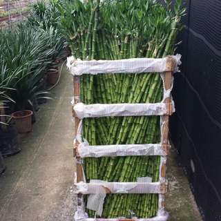 Plant - Bamboo (130cm)