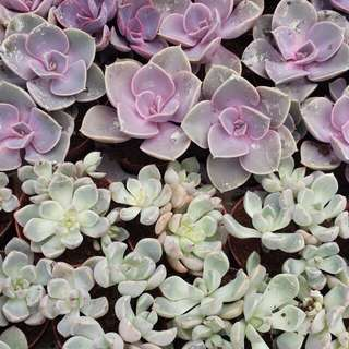 Plant - China / Holland Succulents (5cm pot)
