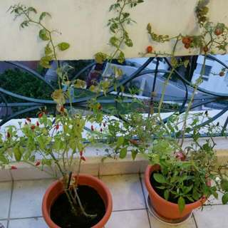 Harvest. Tomatoes & Chili Pots of Plant