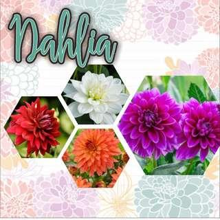Paket 4 Warna Bunga Dahlia