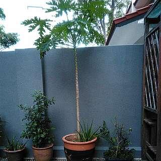 Papaya tree with pot
