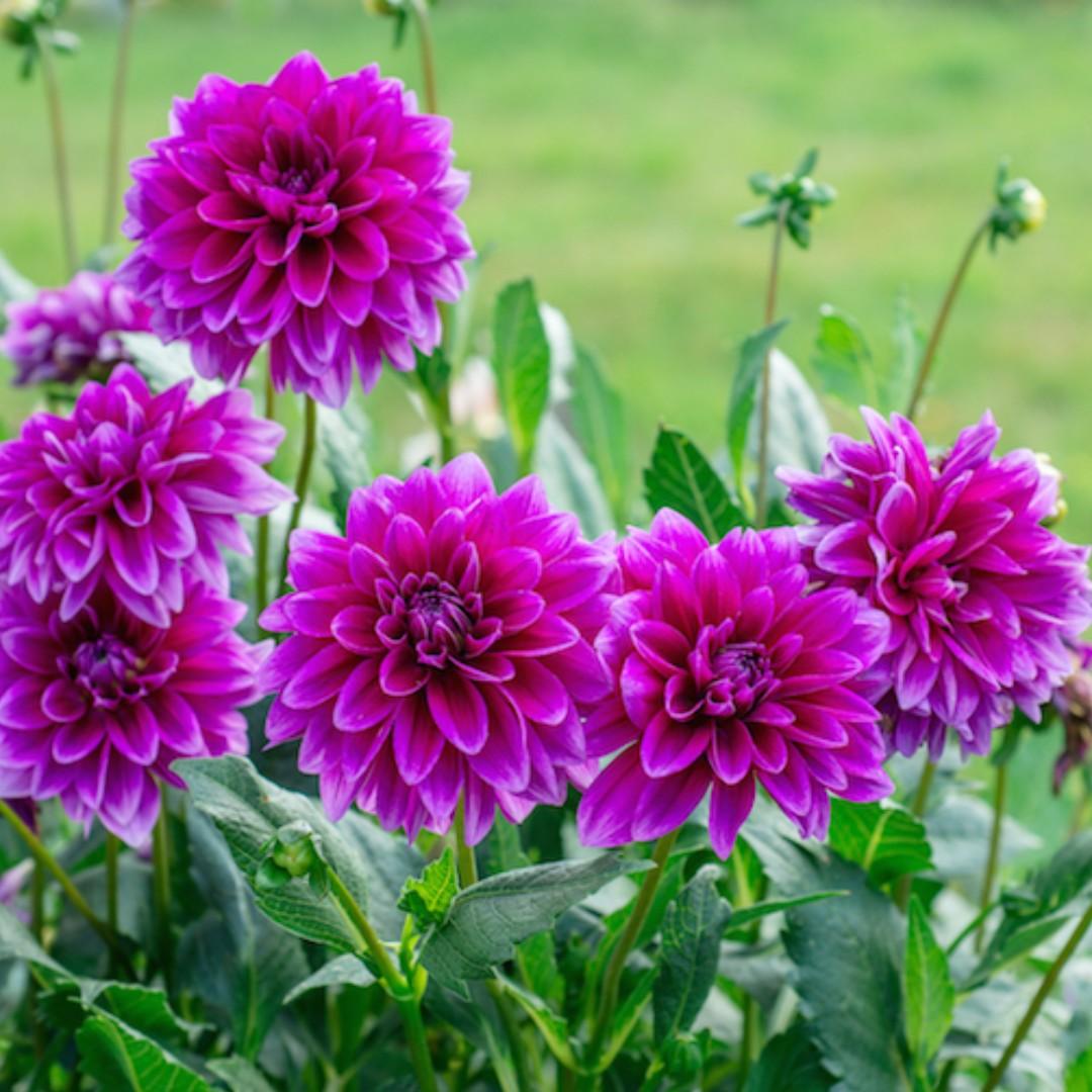 Gambar Bunga Dahlia Ungu Koleksi Gambar Bunga