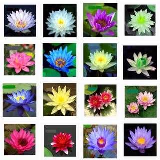 Baby lotus seedlings (Mini)
