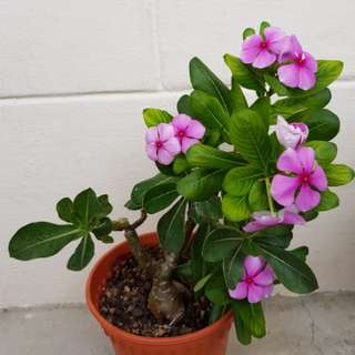 Bargain deal. Blooming pink periwinkles with desert rose