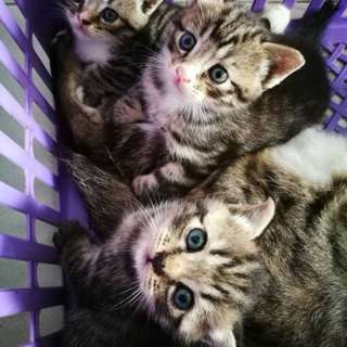 Mix BSH kittens for rehome