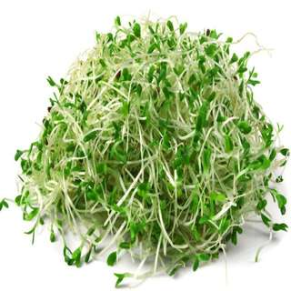 Organic Alfalfa Seeds - 30 gm : Sprouting Microgreens