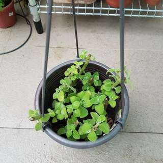 Indian Borage (pot with removable hanging parts)