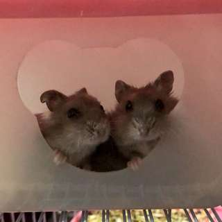 🚚 小老鼠免費領養