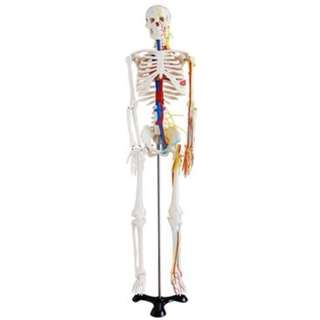 XC102B Skeleton with Blood Vessels 85cm
