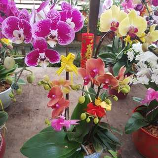 CNY OFFER 3in1 Orchid Bonsai