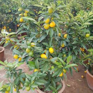 CNY OFFER Kumquat (金橘)