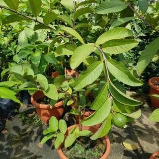 Fruiting Guava