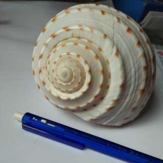 Sea shell 貝殼