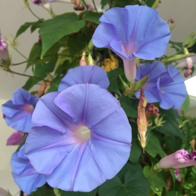 Morning glory in hanging pot(no stock)