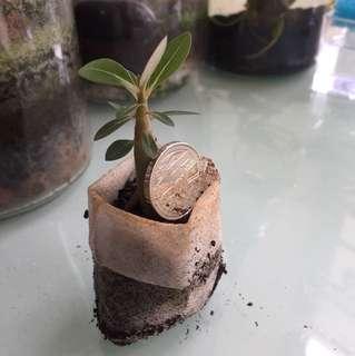 Adenium seedlings - desert rose