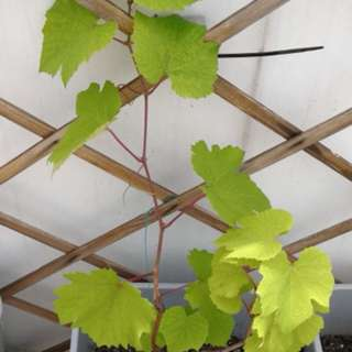 Grape plants / rooted cuttings