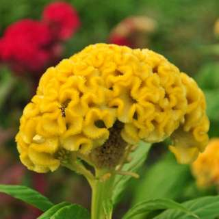 Giant Yellow Cockscomb Flower Seeds