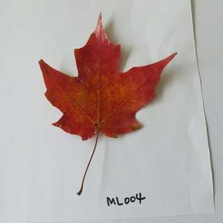 Maple Leaf Goblin Style - Preserved