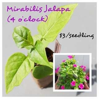 Mirabilis Jalapa Seedling