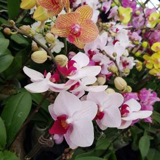 CNY OFFER Phalaenopsis Orchid